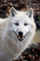 Arctic Wolf, canis lupus tundrarum, Portrait of Adult