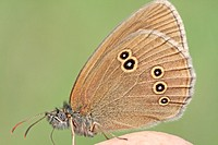 Ringlet, Aphantopus hyperantus on photographer´s hand