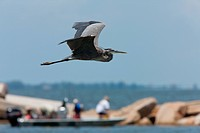 Great Blue Heron in flight along Florida coast