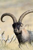 Old male of wild goat Capra pyrenaica resting in Sierra de Gredos Regional Park, Ávila  Castilla y León, Spain
