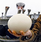 Egg at an ostrich farm. Farmer´s hand holding an ostrich egg at an ostrich farm. The ostriches in the background are South African black ostriches Str...