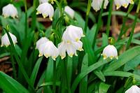 wild daffodil 10