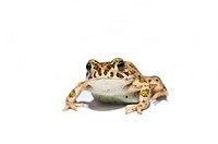 Frog isolated on white background.