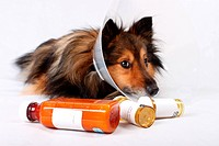 Sick Sheltie or Shetland sheepdog with dog cone collar and medicine bottles in the foreground NOT ISOLATED