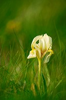 Wild yellow iris flower blossom