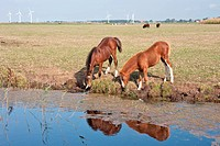 Drinking couple of horses in the dutch pastures