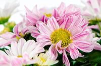 Beautiful Chrysanthemum flowers