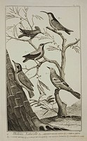 Plate showing bird specimens: 1) tree-Creeper of Cayenne; 2) colibri of Cayenne; 3) humming bird; 4) crested humming bird; 5) beccafico of Saint Domin...