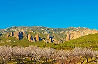 Plantation of Flowering Almonds on a Background of Rocks in the Spanish Pyrenees