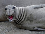 Elephant seal bellowing close up male juvenile , piedras blancas, california