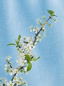 White blackthorn flowers on a blue background