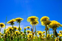 Yellow dandelions in the meadow clear solar summer´s day