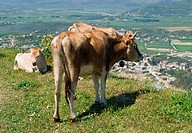 Cows grazing on a meadow in Albania.