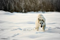 The photography of running Berger Blanc Suisse synonym of White Shepherd Dog in the snow.Photo taken on: 07.12.2010