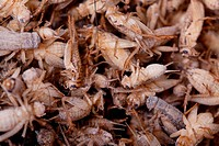 Frozen House Crickets to be used as pet food