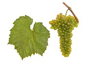 leaf and grapes of white viognier