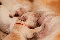 One week old golden retriever puppies suckling