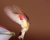 Hummingbird in the wild