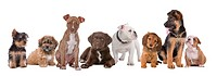 large group of puppies on a white background.from left to right, Yorkshire terrier,mixed breed boomer, pitbull terrier,chocolate labrador,French bulld...