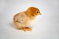 A baby golden sexlink chick