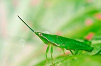 grasshopper in green nature or in the garden