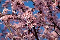 Wonderful flowering tree. Spring flower