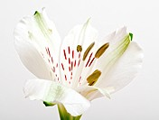 close up of a white lily flower