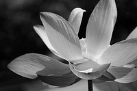 Black & White waterlily