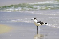 A laughing gull with reflection stands in wet sand in the Alabama surf Gulf of Mexico.