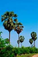 palms tree in the forest with clear bright blue sky background