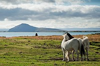 icelandic ponies in interior iceland landscape