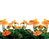 a cluster of gerbera and white background