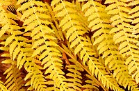 Close up shot of Fern leaves in autumn