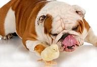 hungry dog _ english bulldog licking lips looking at baby chicks