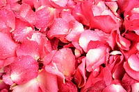Pink and red rose petal background