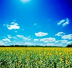sunflowers field and white clouds on blue sky