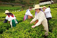 Workers picking tea leaves in Porto Formoso tea gardens while wearing traditional garments  Sao Miguel, Azores, Portugal
