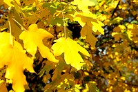 Autumn yellow leaves close up against green foliage
