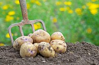 Pile of freshly harvested organic potatoes on an allotment.