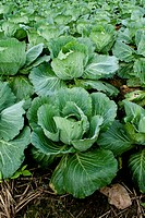 Row of cabbage