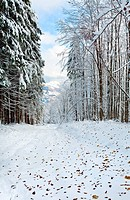 October mountain beech forest with first winter snow and last autumn leafs over
