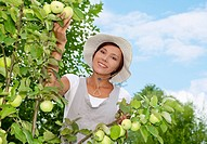 Woman picking apples in a small organic apple orchard