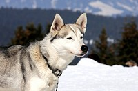 Portrait of adorable young different eyes siberian male husky at snowy winter outdoors