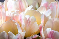 Bouquet of pastel colored tulips with water drops