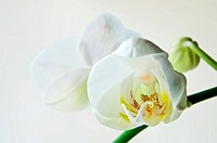 white orchid phalaenopsis over light backgound