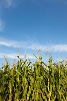 Maize field in the light of late summer