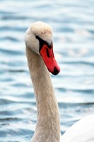 Swan´s curved neck and head