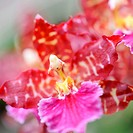 Orchid red. A flower growing in a tropical climate
