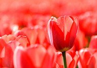 beautiful red tulips glowing in sunlight