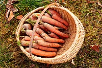 Freshly picked carrots in a basket on a meadow